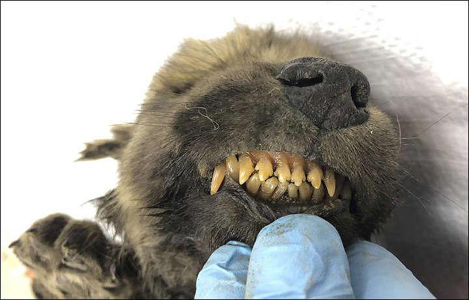 Zaleđeni pas u Sibiru | Author: SERGEY FEDOROV