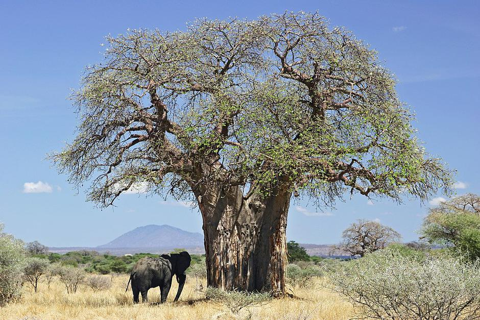 Baobab | Author: Wikipedia Commons