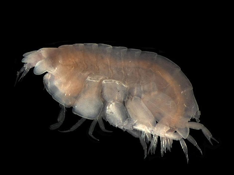 Lyssianasid amphipod | Author: Smithsonian Museum of Natural History's