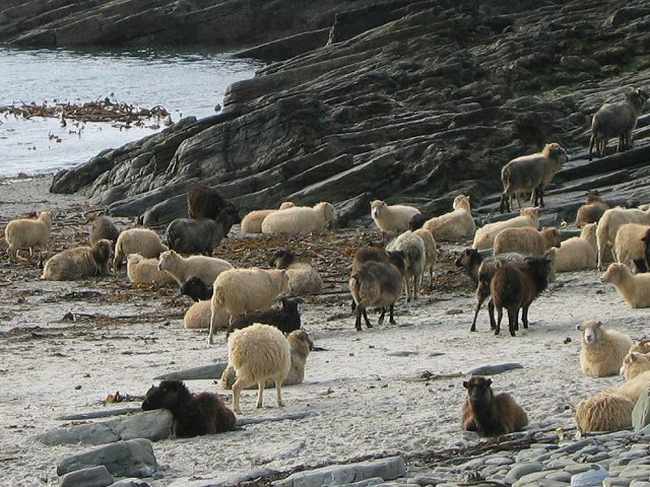 Ovce sa Sjevernog Ronaldsayja | Author: Wikipedia