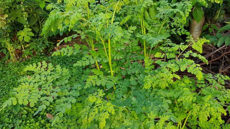 Slikovni rezultat za Ta čudesna biljka – Moringa oleifera