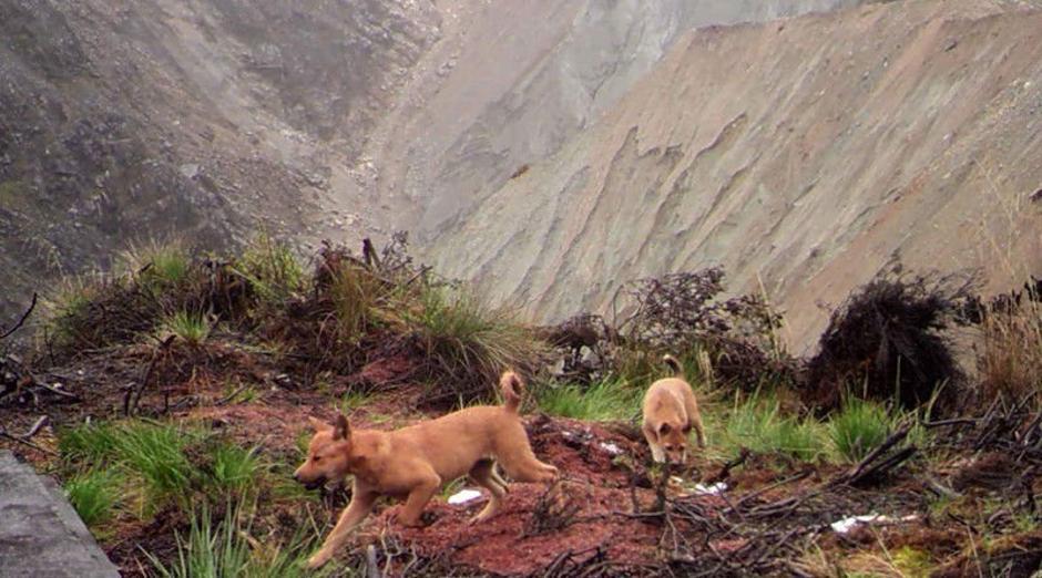 mislili da su izumrli pronašli najstarije pse na svijetu express hr